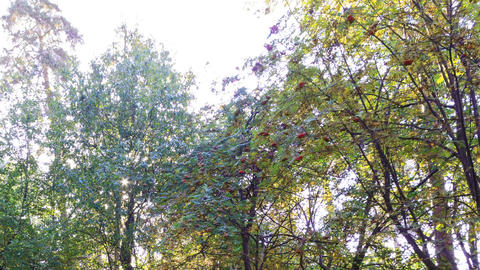 Sun behind the sorbus. Time Lapse Stock Video Footage