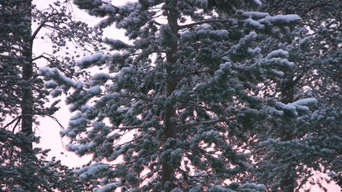Winter north forest Footage