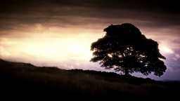 Oak Tree stock footage