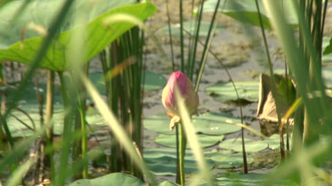 Pink Lily Bud Stock Video Footage