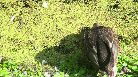 Duck the overgrown pond Stock Video Footage