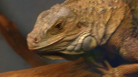 iguana 02 Stock Video Footage