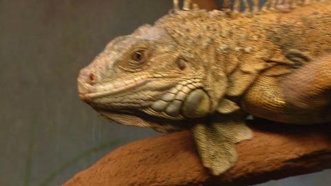 iguana 02 Footage