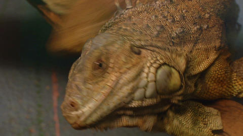 iguana 04 Stock Video Footage