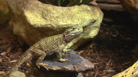 pogona 01 Stock Video Footage