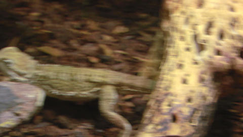 pogona 03 Stock Video Footage