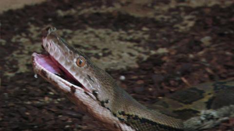 python 02 Footage