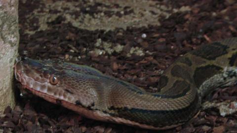 python 02 Stock Video Footage