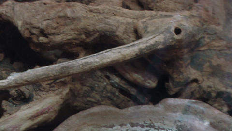varanus 01 Stock Video Footage