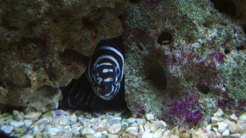 zebra moray Stock Video Footage