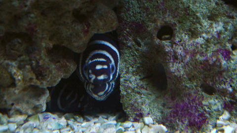 zebra moray Footage