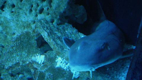 zebra shark 02 Stock Video Footage