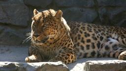 Jaguar Stock Video Footage