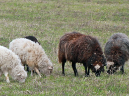Sheep eat grass. The first spring grass Stock Video Footage