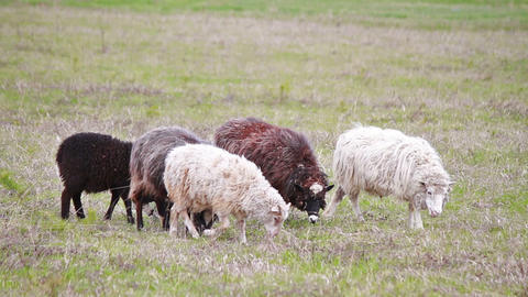 Sheep eat grass Stock Video Footage