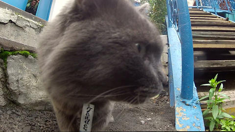 Muzzle gray cat Footage