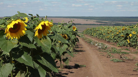 The car in a field of sunflowers Stock Video Footage