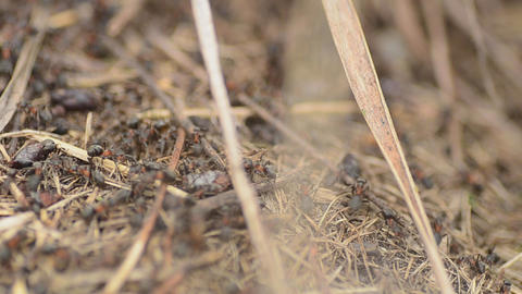 Ants on an anthill closeup, dolly shot Footage