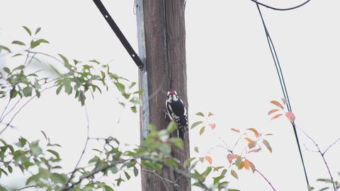 Woodpecker, sits on a pillar Stock Video Footage