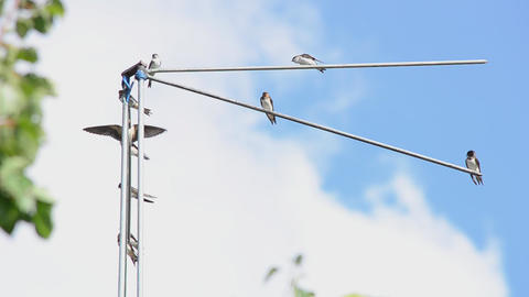 Family of martlets sitting on the TV antenna Footage