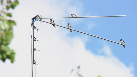 Family of martlets sitting on the TV antenna Stock Video Footage