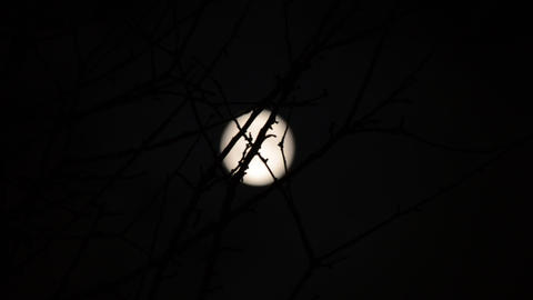 Silhouette of branch, full moon on background. Tim Footage