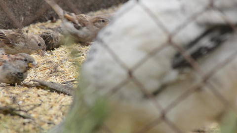 Sparrows eating seeds Stock Video Footage