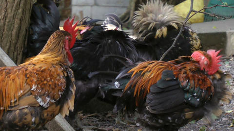 Chickens and rooster altogether on farm Footage