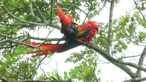 Two Scarlet Macaw walking and perched on a tree. I Stock Video Footage