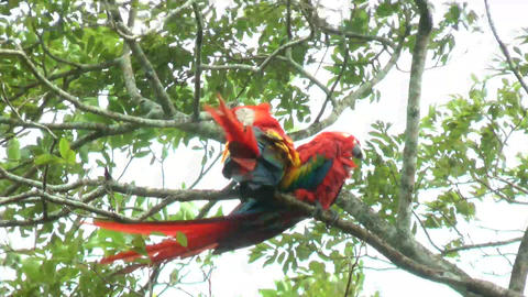 Two Scarlet Macaw walking and perched on a tree. I Footage
