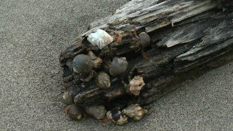 Close up of many Hermit Crab in a humid wood on th Footage