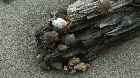 Close up of many Hermit Crab in a humid wood on th Stock Video Footage