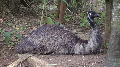 Emu getting ready to sleep Footage