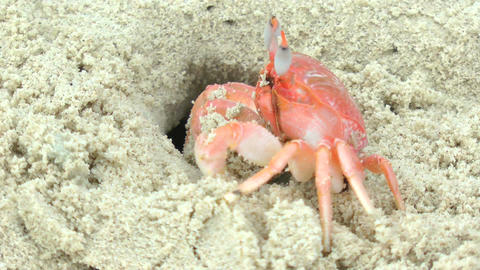 Red ghost crab diving with speed into his hole whe Stock Video Footage