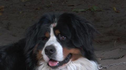 bernese mountain dog portrait closeup Stock Video Footage