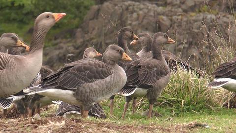 icelandic greylag geese closeup Stock Video Footage