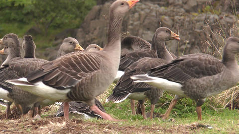 icelandic greylag geese closeup Stock Video Footage
