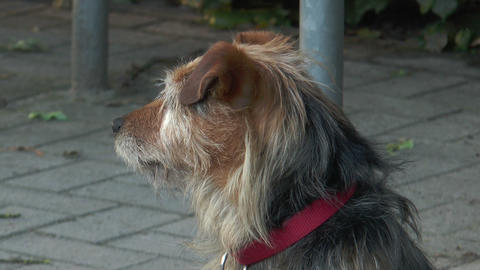 terrier dog picking up the scent Stock Video Footage