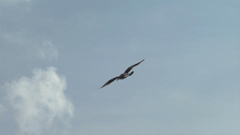 seagull fly 01 Stock Video Footage