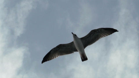 seagull fly 03 Stock Video Footage