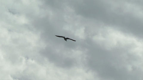 seagull fly 07 Stock Video Footage