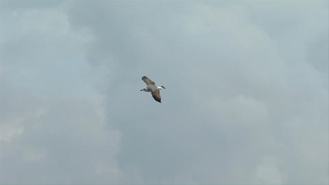 seagull fly 09 Stock Video Footage