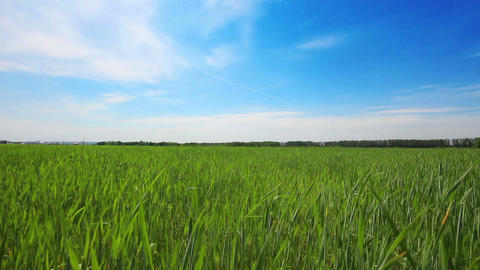 green field with young wheat under blue sky - doll Footage