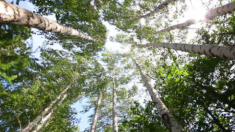 turning tops of summer birch trees with sun shinin Footage