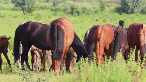horses grazing on pasture Footage
