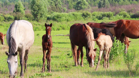 horses and foal grazing on pasture at summer Footage