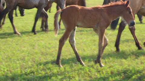 foal grazing on pasture at summer Stock Video Footage