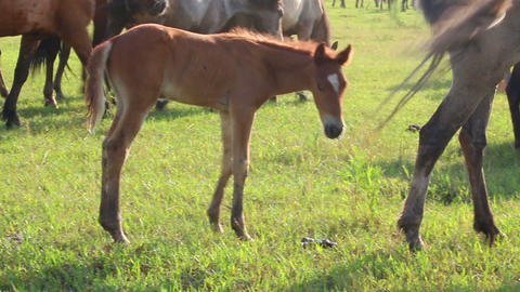 foal grazing on pasture at summer Footage