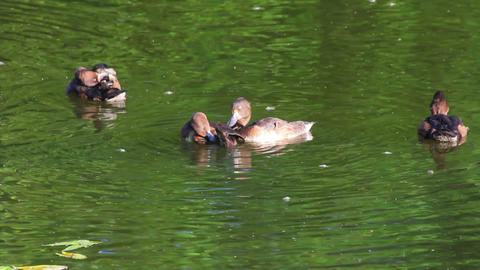 young ducks on pond Footage