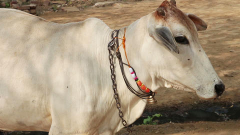 indian white cow portrait Stock Video Footage